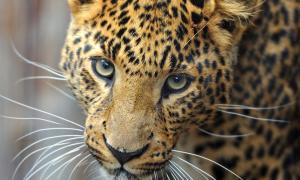 amur-leopard_87883936